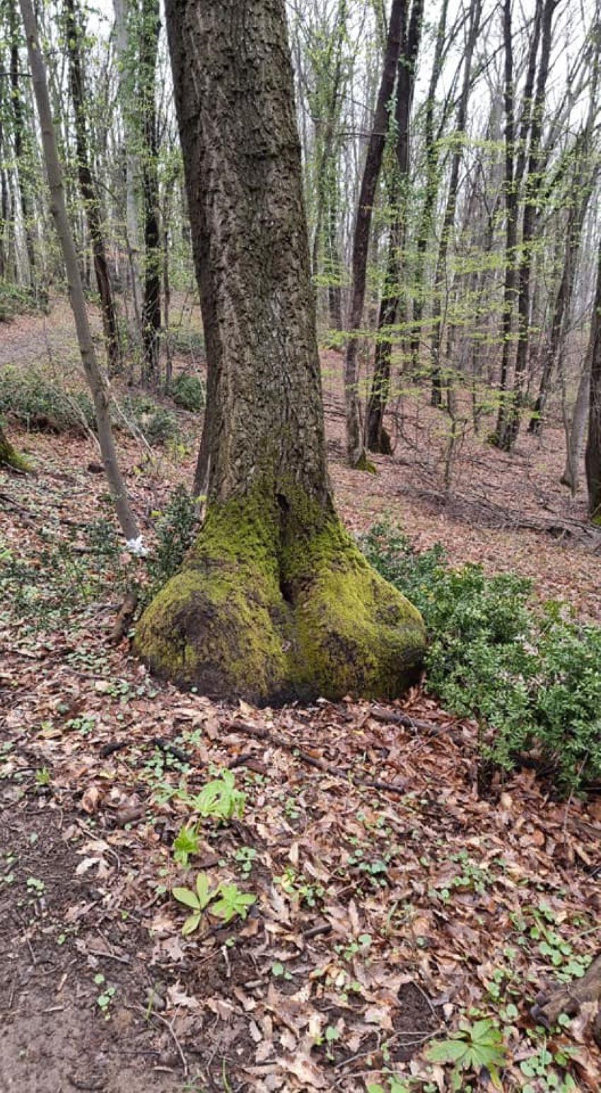 Drvo Fruška
