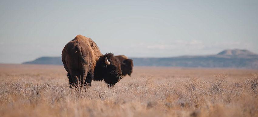 bizoni arizona dream
