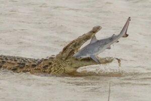 crocodile_eats_shark
