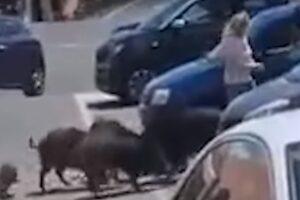 divlje svinje napad