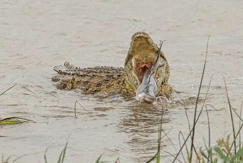 krokodil i ajkula