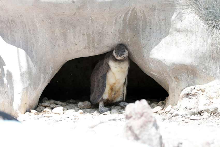 beba-pingvin-petko