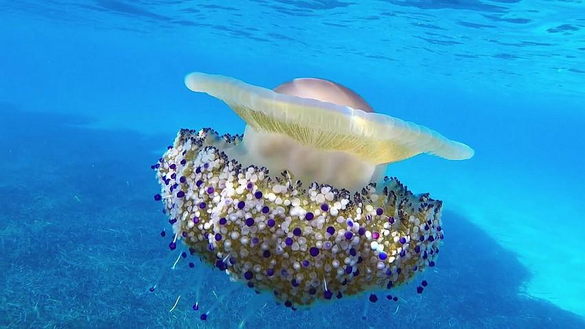 mediternska meduza