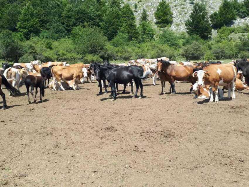 suva-planina-konji-krave
