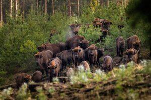 bizoni stado